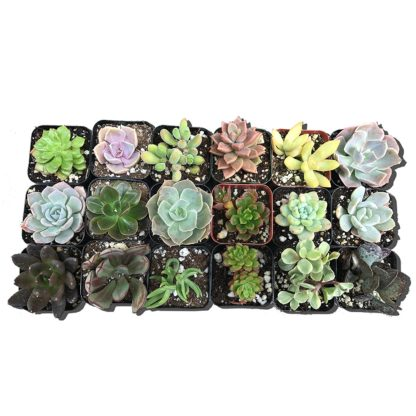 Variety Succulents