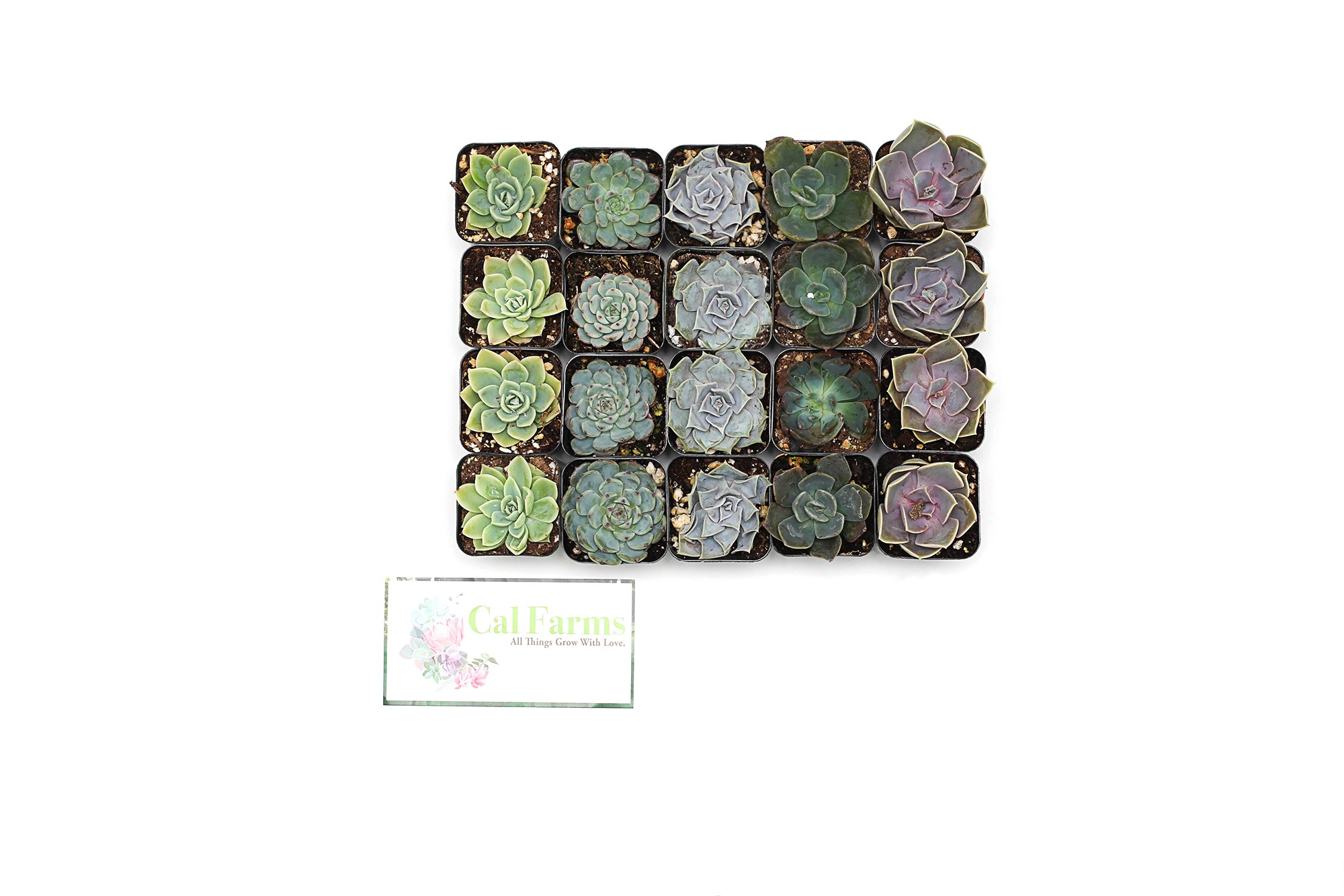 Cal Farms 20 Of 2 Beautiful Rosettes Succulents Weddings Or Party Favors Or Succulent Gardens Cal Farms Succulents