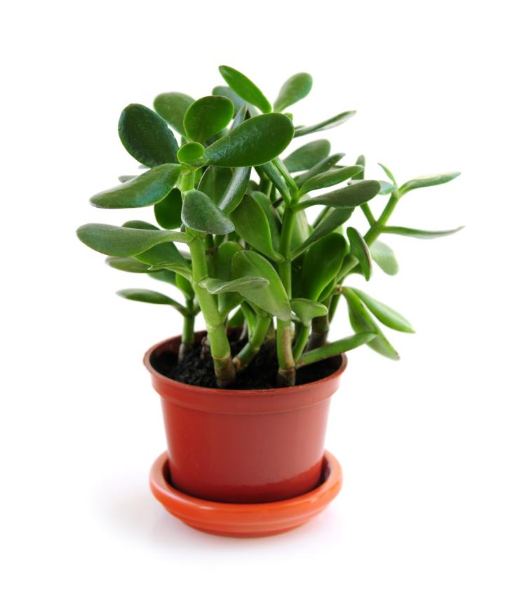 Jade Plant For Peace And Prosperity In Every Home