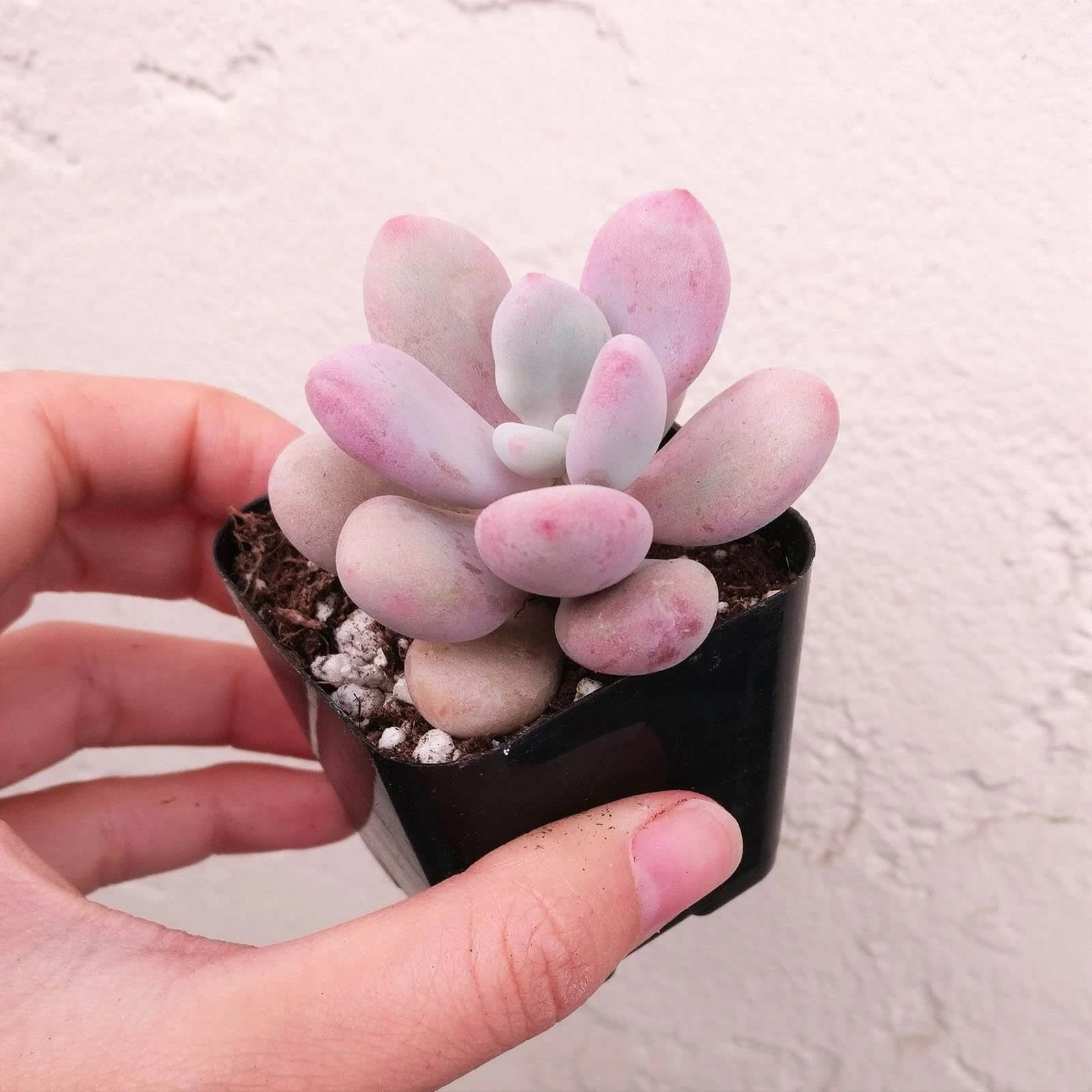 Top 5 Succulent Plant Gift Ideas For Valentine S Day Cal Farms Succulents